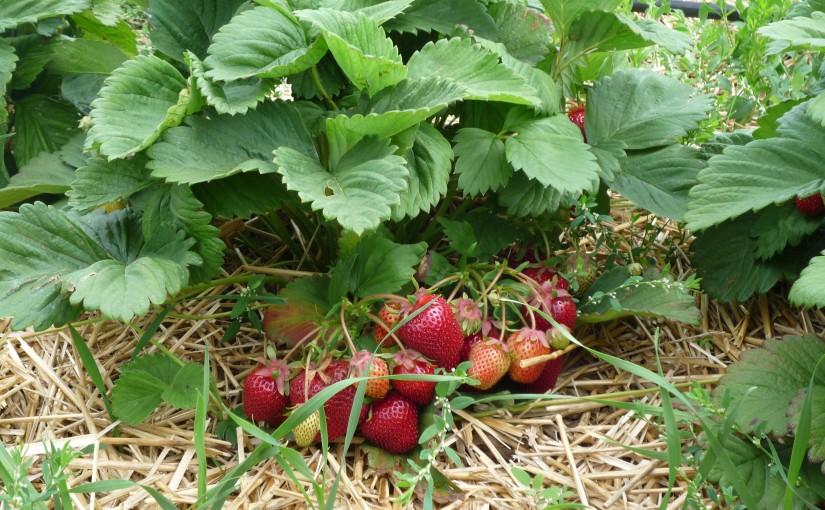 erntereife Erdbeeren