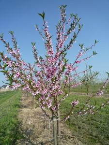junger Pfirsichbaum